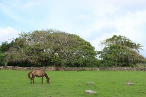 Kuda Sumba