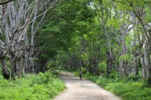 Pohon kisu