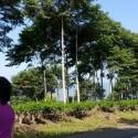 Sengon Tree,  Kapahiang,  Bengkulu - Indonesia